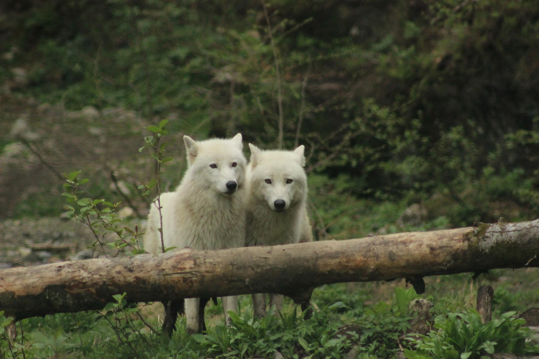 Lobo ártico